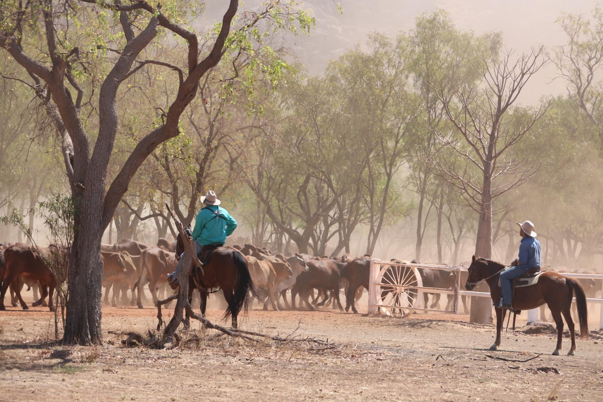 Gibb River Road Cattle